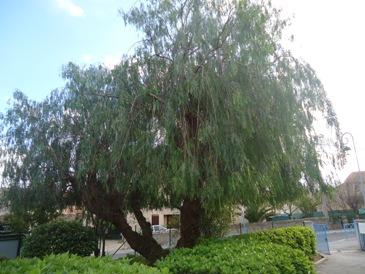 Les saisons l 39 cole maternelle gensollen de la farl de for Faux olivier arbre