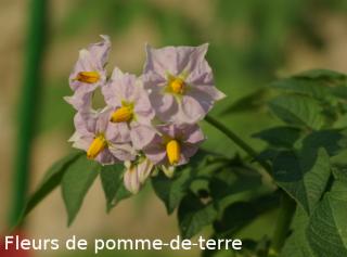 Fleurs de pomme-de-terre